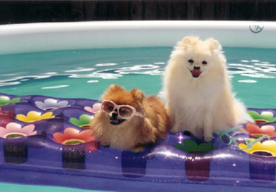 pomeranians staying cool in summer